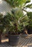 Chamaerops humilis Vulcano - mother - trunk 60-80 cm - total height 200+ cm - pot Ø 75 cm [pallet]_
