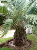 Jubaea chilensis - trunk 25-35 cm - total height 140-160 - pot Ø 40 cm [pallet]_