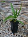Brahea sp. Super silver - trunk 70-80 cm - total height 200-220 cm - pot 100 ltr [pallet]_