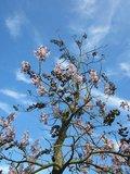 Paulownia tomentosa - stamomtrek 4-6 cm - totale hoogte 180+ cm - pot Ø 35 cm_