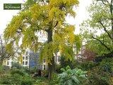 Ginkgo biloba - total height 40+ cm - pot 3 ltr_