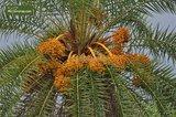 Phoenix Sylvestris - total height 200+ cm - pot Ø 55 cm [pallet]_