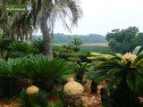 Cycas revoluta - trunk 50-60 cm - total height 140-160 cm - pot Ø 50 cm [pallet]_