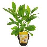 Edgeworthia chrysantha Grandiflora - set of 3 - total height 40-60 cm - pot Ø 13 cm_