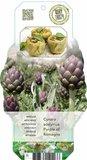 Cynara scolymus Purple of Romagna - pot 2 ltr_
