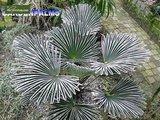 Trachycarpus wagnerianus - trunk 40-50 cm - total height 130-150 cm - pot Ø 35 cm_