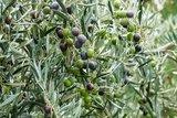 Olea europaea - shrub - total height 60-80 cm - pot Ø 20 cm_