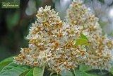 Eriobotrya Japonica - total height 40-60 cm - pot 16 x 16 cm_