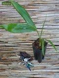 Chambeyronia macrocarpa - total height 150-170 cm - pot Ø 40 cm [pallet]_
