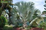 Bismarckia nobilis - total height 40-50 cm - pot 14 cm_