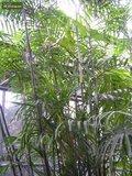 Chamaedorea seifrizii - total height 70+ cm - pot Ø 13 cm_
