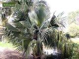 Sabal bermudana - total height 30-40 cm - pot Ø 13 cm_