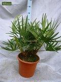 Serenoa repens - total height 20-30 cm - pot Ø 13 cm_