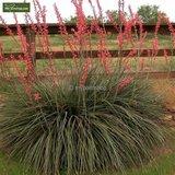 Hesperaloe parviflora Rubra - pot Ø 17 cm_