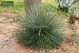 Agave geminiflora - pot Ø 20 cm_
