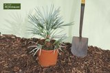Chamaerops humilis Cerifera - trunk 20-30 cm - total height 110-130 cm - pot Ø 40 cm [pallet]_