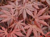 Acer palmatum Trompenburg