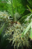 Trachycarpus fortunei - trunk 120-140 cm - pot Ø 40 cm [pallet]_