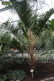 Butia nabonnandii (Butyagrus) - trunk 15-30 cm - total height 130+ cm - pot Ø 40 cm [pallet]_