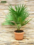 Chamaerops humilis Vulcano - total height 60-80 cm - pot Ø 28 cm_
