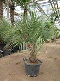 Butia catarinensis - trunk 15+ cm - total height 150+ cm - pot Ø 50 cm [pallet]_