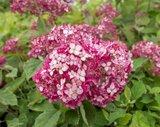 Hydrangea arborescens Ruby Annabelle