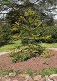 Araucaria araucana - total height 35-45 cm - pot 3 ltr_