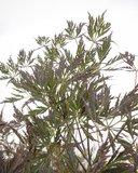 Acer palmatum Dissectum Garnet - total height 50-60 cm - pot 3 ltr_