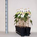 Morus nigra Black Persian - pot 2 ltr_