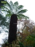 Dicksonia antarctica - total height 60-80 - pot Ø 22 cm_