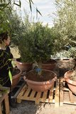 Olea europaea Bol op stam stamhoogte 60-80 cm stamomtrek 35-45 cm