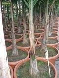 Syagrus romanzoffiana sp. Santa Catarina - total height 200+ cm - pot Ø 20 cm_
