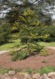 Araucaria araucana - total height 45-55 cm - pot 4 ltr_