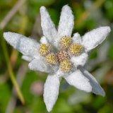 Leontopodium alpinum Blossom of Snow - pot 14 x 14 cm_
