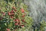 Pistacia lentiscus 2 ltr_