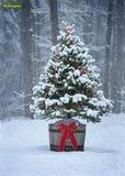 Picea glauca Conica - 3 ltr pot - 60-80 cm_