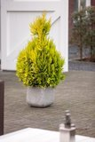 Thuja Plicata '4ever Goldy' - total height 80-100 cm - pot 5 ltr_
