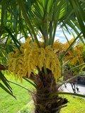 Trachycarpus fortunei - trunk 30-40 cm - total height 120-140 cm - pot Ø 31 cm + 10 ltr palm potting soil_