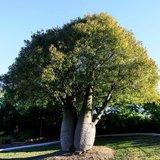 Brachychiton rupestris - shrub - total height 50-60 cm - pot Ø 17 cm_