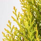 Platycladus orientalis Pyramidalis Aurea - total height 50-70 cm - pot 3 ltr_