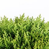 Thuja occidentalis Danica - total height 30-40 cm - pot 3 ltr_