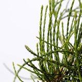 Platycladus orientalis Franky Boy - total height 40-50 cm - pot 3 ltr_