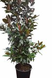 Magnolia grandiflora - total height 300+ cm - pot Ø 90 cm_