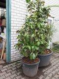 Magnolia grandiflora Gallisoniensis - total height 220+ cm - pot Ø 55 cm_