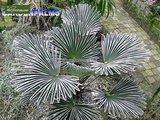 Trachycarpus wagnerianus - trunk 20-30 cm - total height 80-100 cm - pot Ø 30 cm_