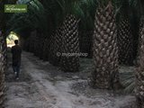Phoenix canariensis totale hoogte 200+ cm