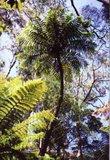 Cyathea cunninghamii - trunk 25-35 cm_