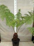 Cyathea australis