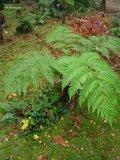 Cyathea cooperi - pot Ø 22 cm_