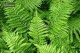 Dryopteris affinis 'Crispa' pot 0.7 ltr_